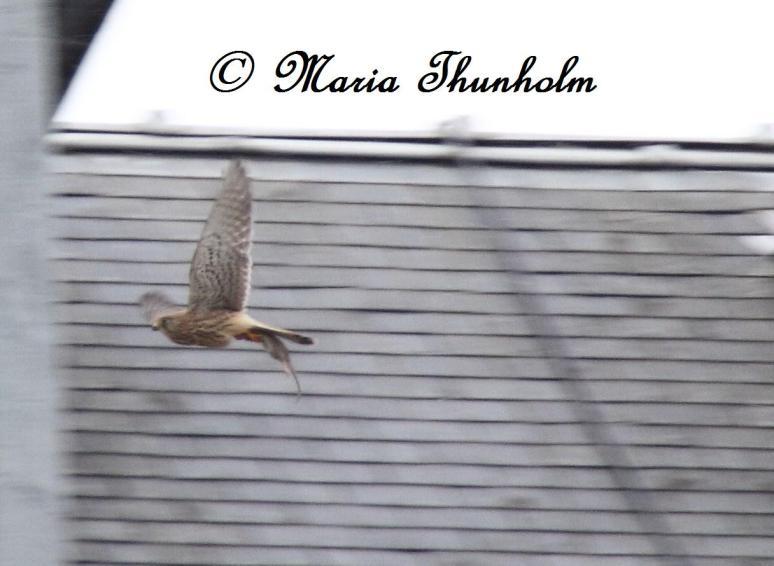 Faucon crécerelle - Falco tinninculus - Lieu de prise de vue : Notre Dame de Paris, France. Dimanche 24 février 2013